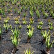 Aloe Vera fields in Lanzarote Orzola at Canaries - Stock Photo