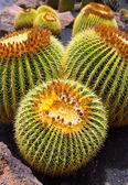 Lanzarote Guatiza cactus garden Echinocactus Macrocentra — Stock Photo