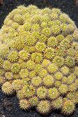 Lanzarote Guatiza cactus garden Mammillaria Compressa — Stock Photo