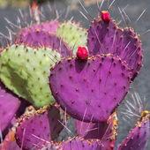 Lanzarote Guatiza cactus garden Opuntia Macrocentra — Stock Photo