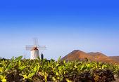 Lanzarote Guatiza cactus garden windmill — Stock Photo