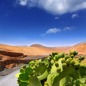 Cactus Nopal in Lanzarote Orzola with mountains — Stock Photo