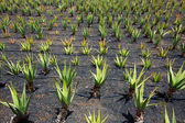 Aloe Vera fields in Lanzarote Orzola at Canaries — Stock Photo