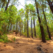 corona forestal in teide national park at tenerife — Stock Photo