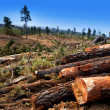 Pine tree felled for timber industry in Tenerife — Stock Photo #12823833