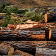 Pine tree felled for timber industry in Tenerife — Stock Photo #12823873
