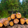 Pine tree felled for timber industry in Tenerife — Stock Photo #12823903