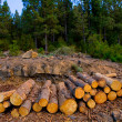 Pine tree felled for timber industry in Tenerife — Stock Photo #12823930