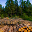Pine tree felled for timber industry in Tenerife — Stock Photo #12823951