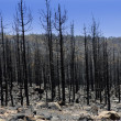Black ashes of canary pine after forest fire at Teide — Stock Photo