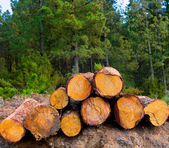 Pine tree felled for timber industry in Tenerife — Stock Photo