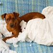 Royalty-Free Stock Photo: Naughty playful puppy dog after biting a pillow
