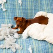Naughty playful puppy dog after biting a pillow — Stock Photo #13298679