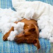 Naughty playful puppy dog after biting a pillow — Stock Photo #13298734