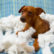 Naughty playful puppy dog after biting a pillow - Stock Photo