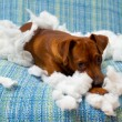 Naughty playful puppy dog after biting a pillow — Stock Photo #13298782