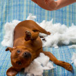 Dog naughty puppy punished after bite a pillow - Stock Photo