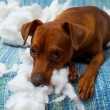 Naughty playful puppy dog after biting a pillow — Stock Photo #13298825