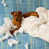 Naughty playful puppy dog after biting a pillow — Stock Photo