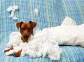 Cachorro brincalhão travesso depois de morder um travesseiro — Foto Stock