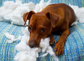Naughty playful puppy dog after biting a pillow — Stockfoto