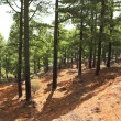 La Palma canary Pine forest - Stock Photo