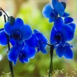 Blue phalaenopsis orchid pretty flowers — Stock Photo #13305229