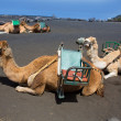 Camels in San antonio Volcano of La Palma — Stock Photo