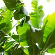 Canarian Banana plantation Platano in La Palma — Stock Photo #13309430
