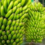 Canarian Banana Platano in La Palma — Stock Photo