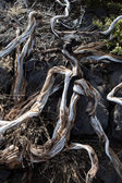Dried branches in La palma Caldera de Taburiente — Stock Photo