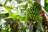 Canarian Banana plantation Platano in La Palma — Stock Photo