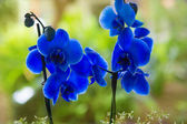 Blue phalaenopsis orchid pretty flowers — Stock Photo