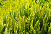Fern Pteridium aquilinum plant in Canaries — Stock Photo
