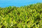 Bananplantage nära havet i la palma — Stockfoto
