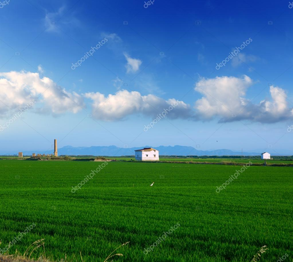 Green rice fields in El Saler at Valencia Spain in sunny spring day — Stock Photo #13478298