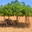 Flock of sheep under fig tree shadow on summer - Stock Photo