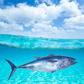 Bluefin tuna Thunnus thynnus underwater — Stock Photo