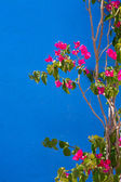 Bougainvillea pink flowers in mediterranean — Stock Photo