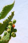 Chumbera nopal prickly pear fruits — Stock Photo