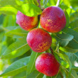 Nectarine fruits on a tree with red color — Stock Photo #13831701
