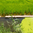 Stock Photo: Green rice fields in El Saler Valencia