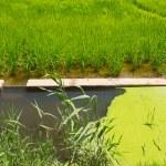 Green rice fields in El Saler Valencia — Stock Photo