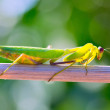 Praying mantis insect closeup macro - Stock Photo