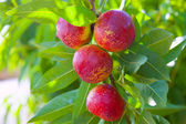 Nectarine fruits on a tree with red color — Stock Photo