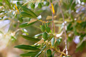 Detail of olive tree with green olives fruit — Stock Photo