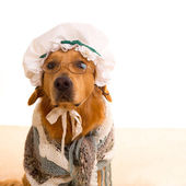 Wolf dog dressed as grandma golden retriever — Stock Photo