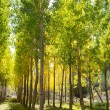 Autumn early fall forest with yellow poplar trees — Stock Photo #19532473
