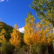 Autumn fall forest with yellow golden poplar trees — Stock Photo #19532605