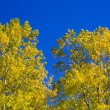 Yellow poplar leaves detain on blue sky - Stock Photo